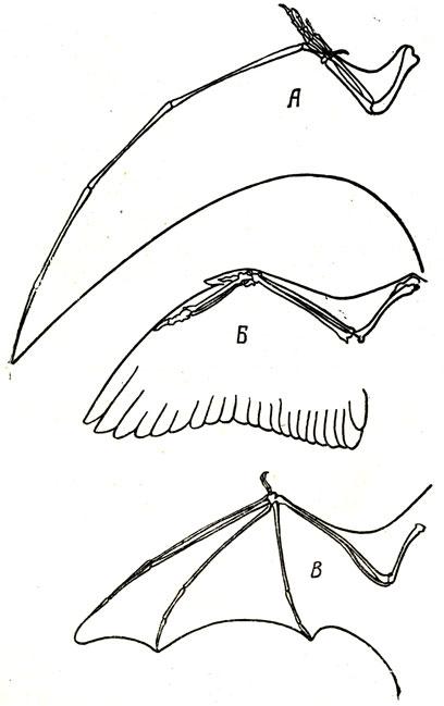 Схема строения крыла летающего