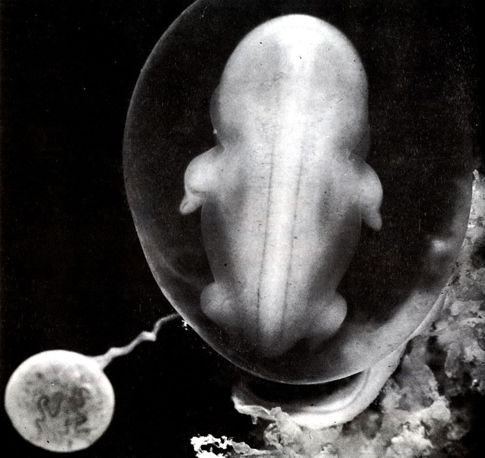 Эмбрион фото